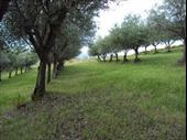Productive Olive Grove In Ragusa Sicily Italy For Sale